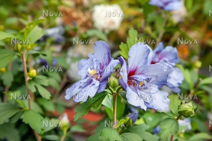 Hibiscus Blueviolet Media Database