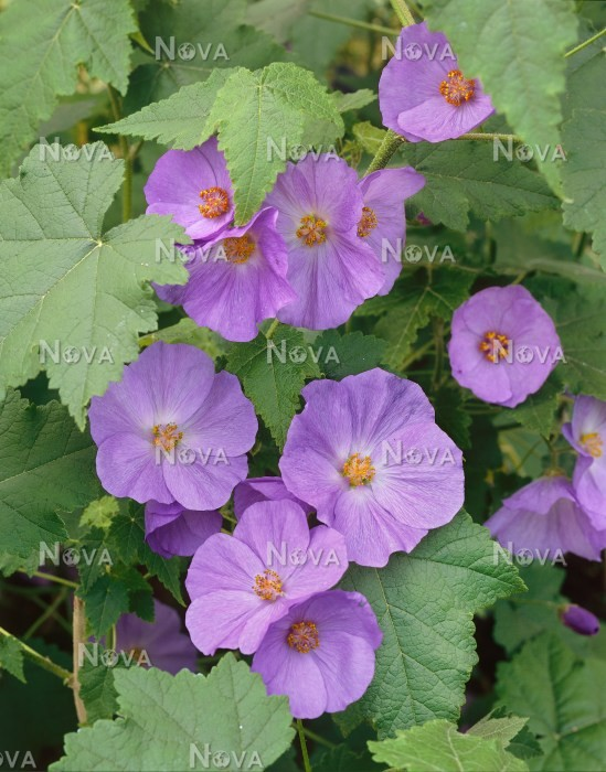 Abutilon X Suntense Media Database