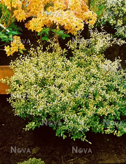 Ilex Crenata Golden Gem Media Database