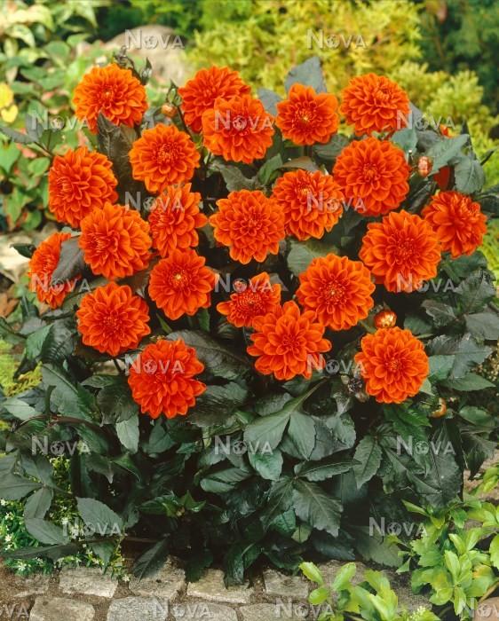 Dahlia Decorative Nana Ellen Houston Media Database