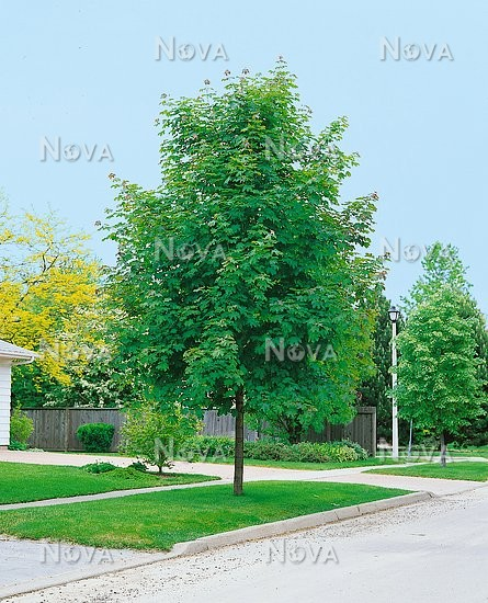 Emerald Queen Maple Fall Color: Acer Platanoides Emerald Queen