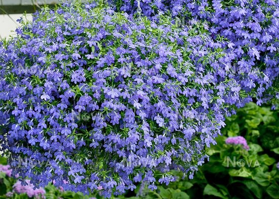 Lobelia Techno Blue In Hanging Basket Media Database