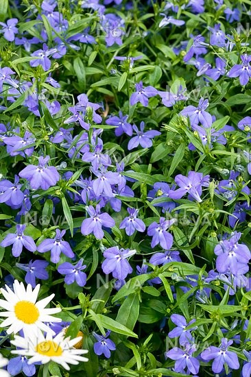 Lobelia Techno Blue Media Database