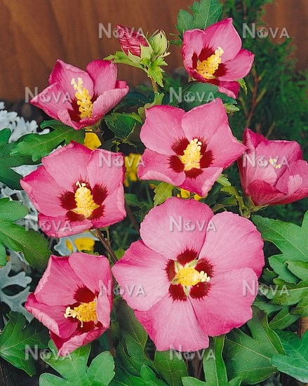 Hibiscus Syriacus Type Pink Giant Media Database