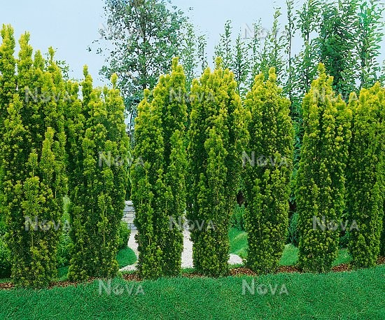 taxus fastigiata aurea media database. Black Bedroom Furniture Sets. Home Design Ideas