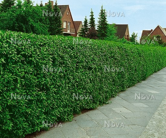 ligustrum vulgare atrovirens media database. Black Bedroom Furniture Sets. Home Design Ideas