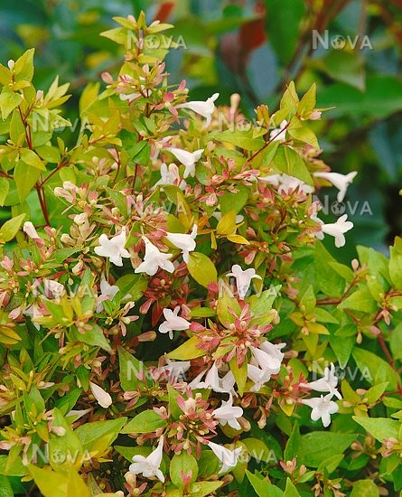 Abelia X Grandiflora Francis Mason Media Database