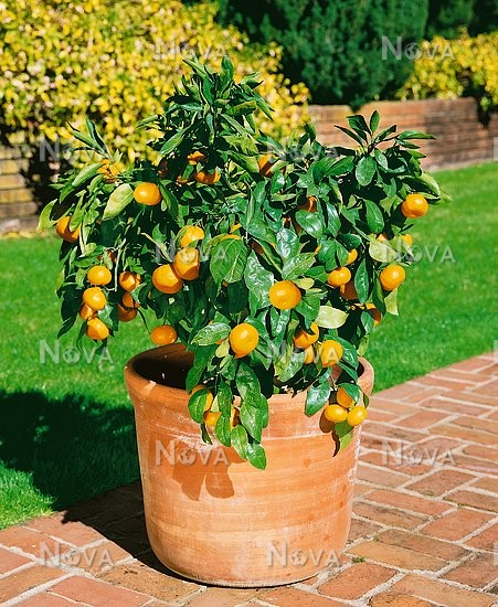 mandarinenbaum im topf citrus deliciosa owari satsuma tree in pot media database. Black Bedroom Furniture Sets. Home Design Ideas