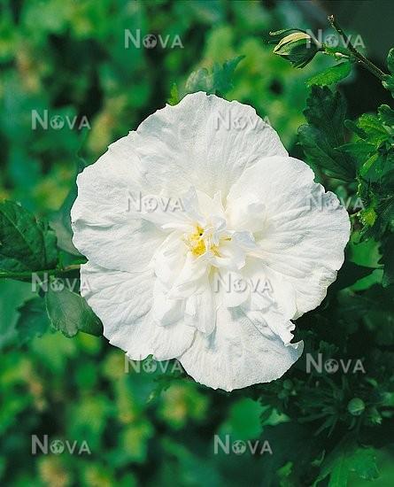 Hibiscus White Chiffon Media Database