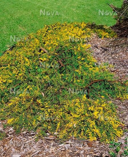 Acacia Cultriformis Austraflora Cascade Media Database