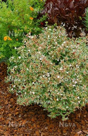 Abelia X Grandiflora Conti Confetti R Media Database