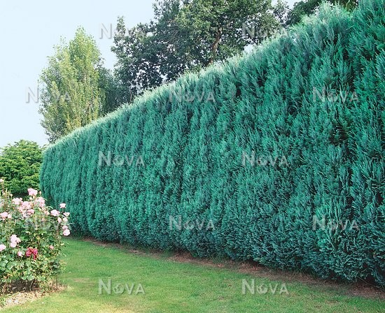 chamaecyparis lawsoniana columnaris glauca media database. Black Bedroom Furniture Sets. Home Design Ideas