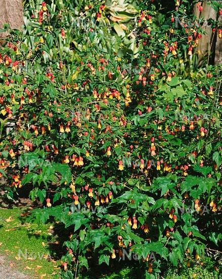 Abutilon Megapotamicum Super Yellow Media Database