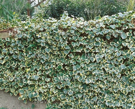 hedera helix marginata elegantissima media database. Black Bedroom Furniture Sets. Home Design Ideas