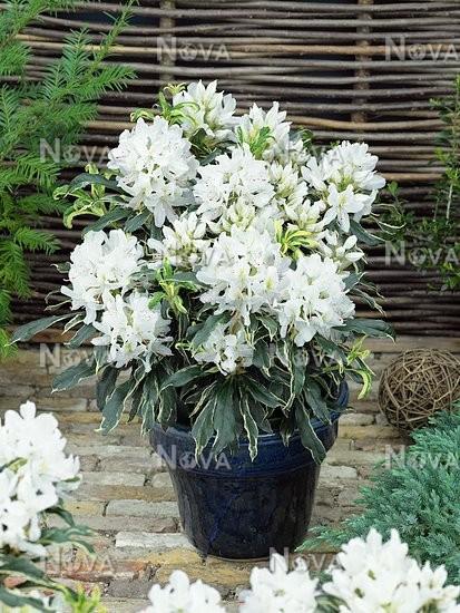 rhododendron claydian variegata in pot media database. Black Bedroom Furniture Sets. Home Design Ideas