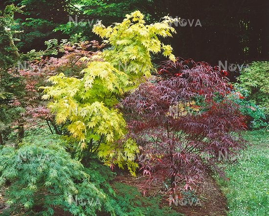 Acer Palmatum In Garden Media Database