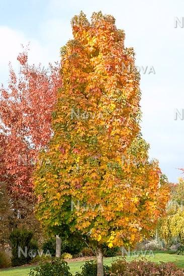 Acer Platanoides Columnare In Autumn Media Database
