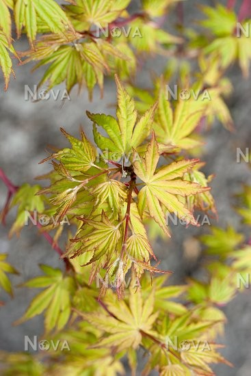 Acer Palmatum Red Wood Burgeoning Media Database