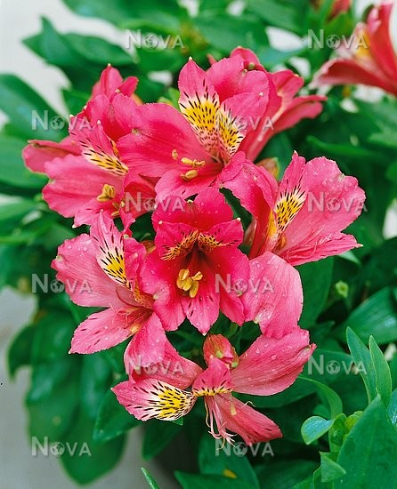 alstroemeria coloring pages - photo#30