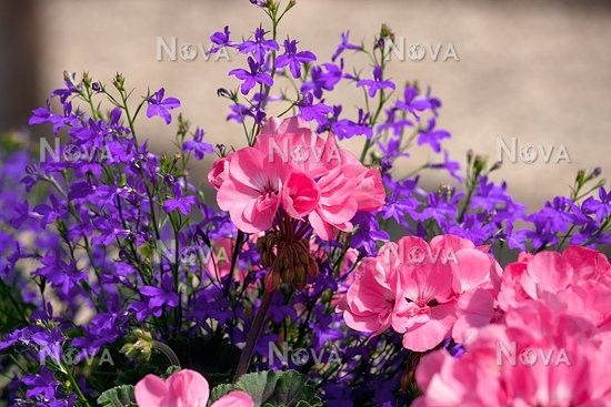 Pelargonium Pac Rosana And Lobelia Deep Blue Star Media Database