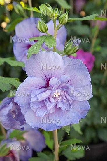 Hibiscus Blue Chiffon Media Database