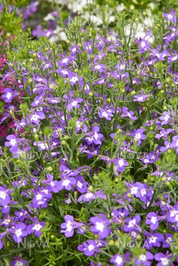 Lobelia Hot Blue With Eye Media Database