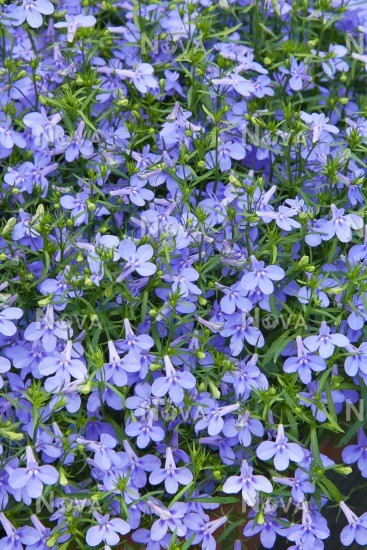 Lobelia Hot Waterblue Media Database
