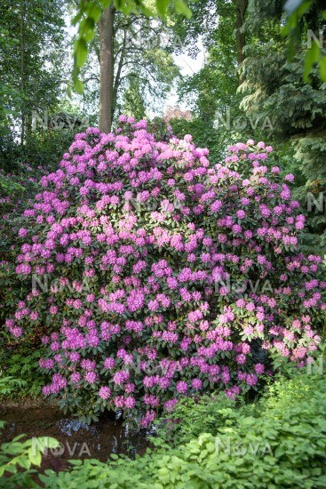 rhododendron purpureum grandiflorum media database. Black Bedroom Furniture Sets. Home Design Ideas