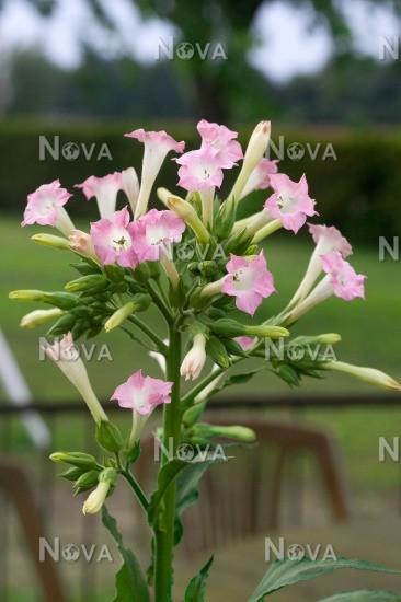 Nicotiana tabacum - Media Database