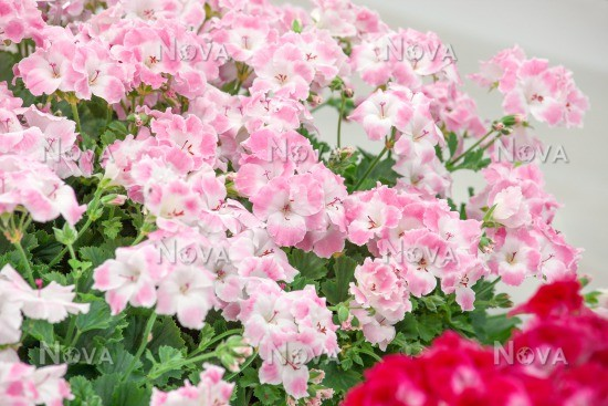 Soft Media Pac Pink Database Pelargonium Bermuda ® DIW92EH