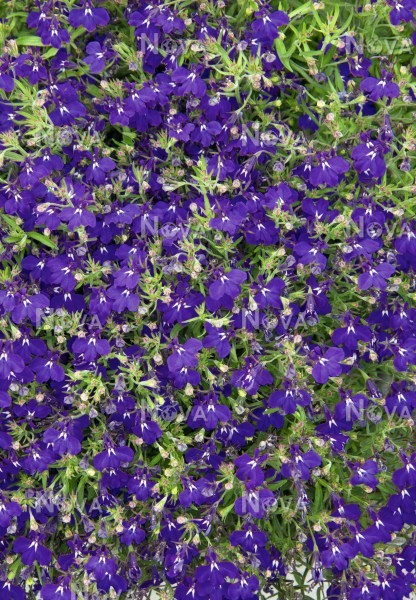Lobelia Hot Royal Blue Media Database