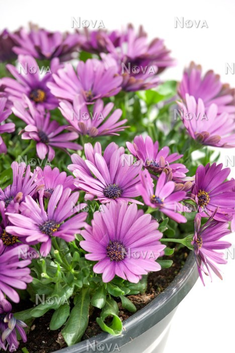 osteospermum sirocco lavender in pot media database. Black Bedroom Furniture Sets. Home Design Ideas