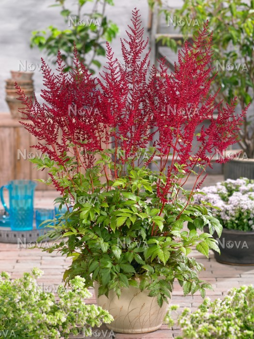 Astilbe Glut In Pot Media Database