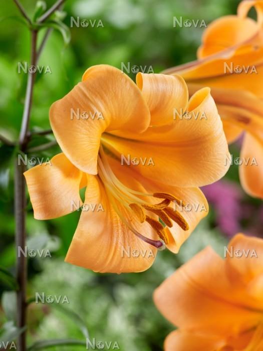 Lilium orange planet media database for Plante orange