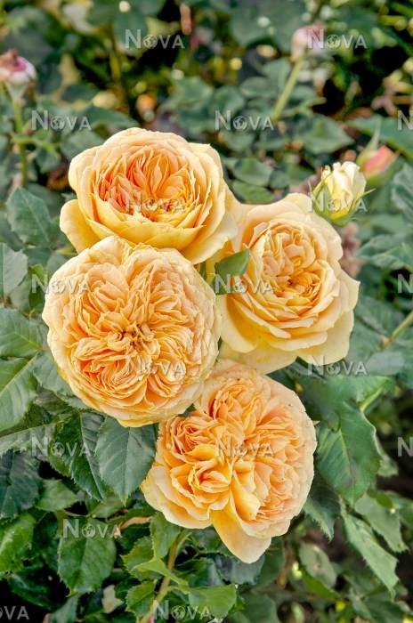 Rosa 100 Idees Jardin ® - Media Database