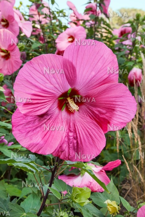 Hibiscus Pink Elephant Media Database