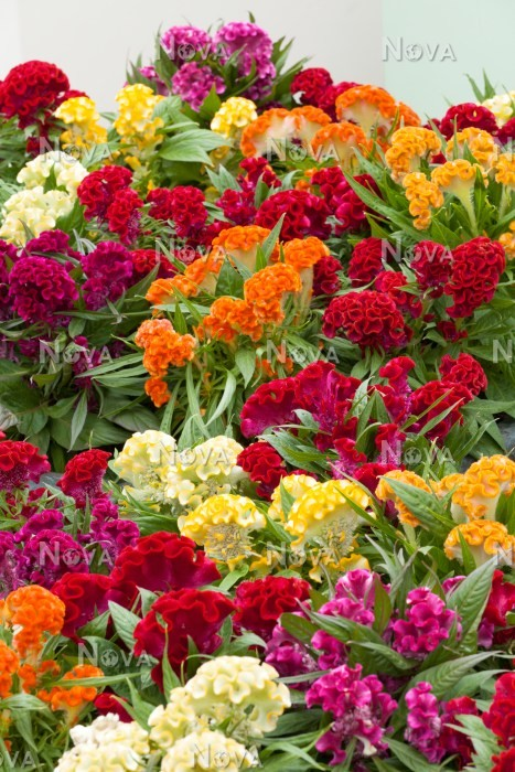 Beliebt Celosia Twisted Hot Topic mix - Media Database KM59