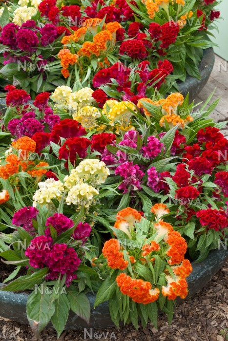 Top Celosia Twisted Hot Topic mix - Media Database XN05