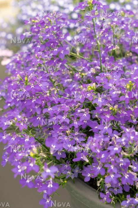 Lobelia Techno Blue Jeans Media Database