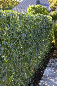 Common Ivy, hedge
