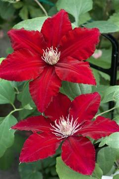 Clematis Rebecca, leather flower (Genus)