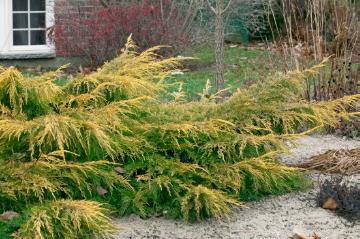 Autumn, conifer, Juniperus (Genus), Juniperus x pfitzeriana