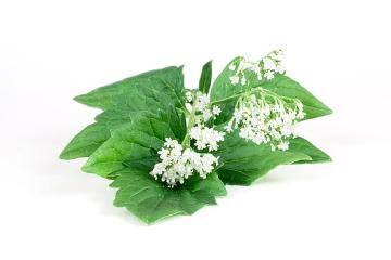 medicinal plant, Spice plant, Valeriana officinalis, white background