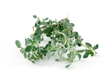 Spice plant, Thymus vulgaris Argenteus, white background