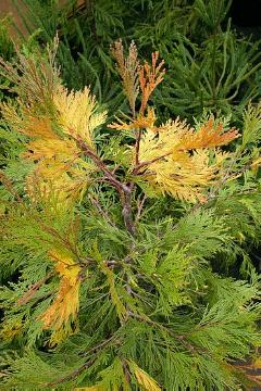Calocedrus decurrens, conifer, incense cedar (Genus), Nadelgehölz