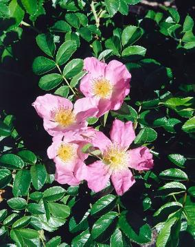 Ground cover rose, Japanese Rose, rose (Genus)