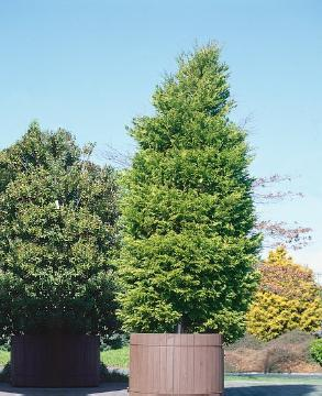 conifer, Container, incense cedar (Genus)