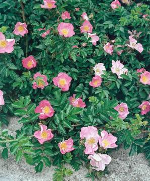 Ground cover rose, Japanese Rose