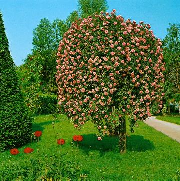 flowerage, long stemmed rose, long stemmed, Weeping Standard Roses