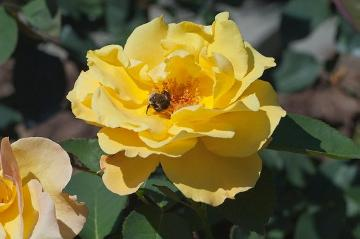 Bumble-Bee, Hybrid Tea, rose (Genus)